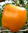 Manzano rocoto orange pepper